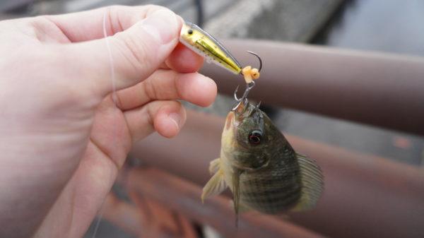 ティラピアをルアーで釣る