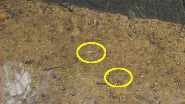 ティラピアの稚魚