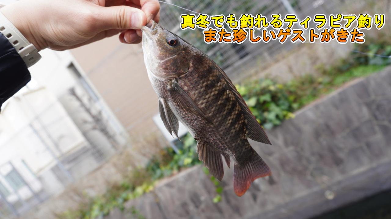 冬のティラピア釣り