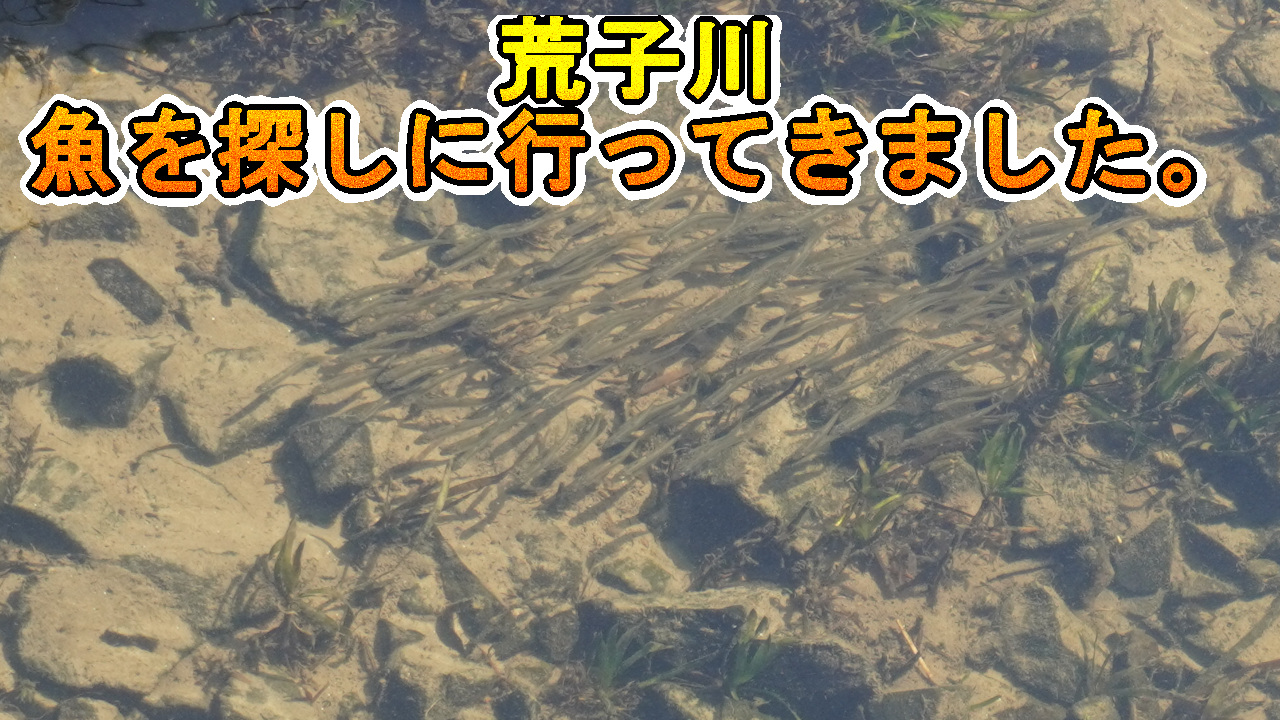 荒子川の魚の写真
