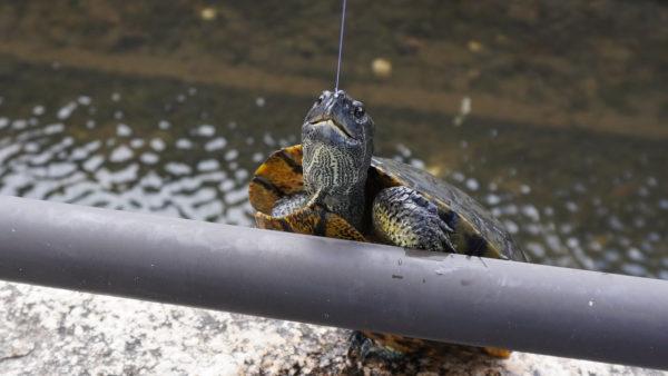 荒子川の亀