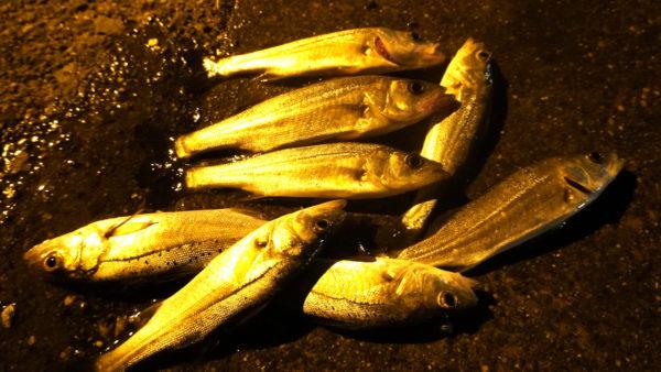 名古屋港のシーバス釣りの釣果