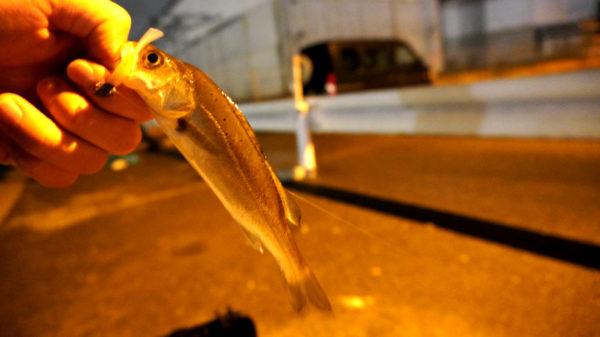 名古屋のシーバス釣り2匹目