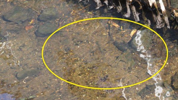上流部のティラピアの稚魚