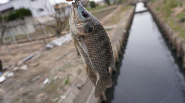 ティラピア釣りで長島水路一匹目