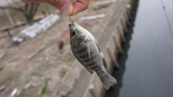 ティラピア釣り長島水路2匹目