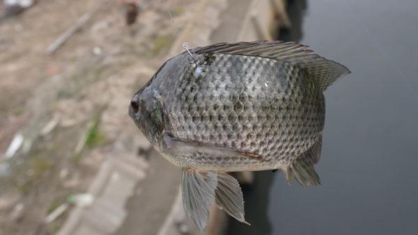ティラピア釣りで長島水路の3匹目