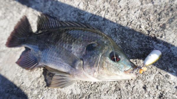 長島水路でティラピアをルアーで釣った。