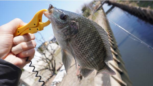 ティラピア釣りで長島水路の一匹目