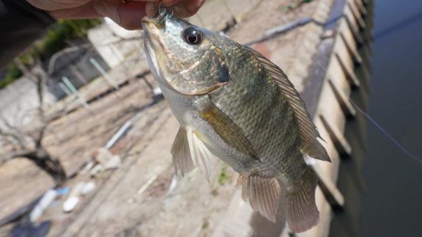 ティラピア釣りで長島水路の2匹目