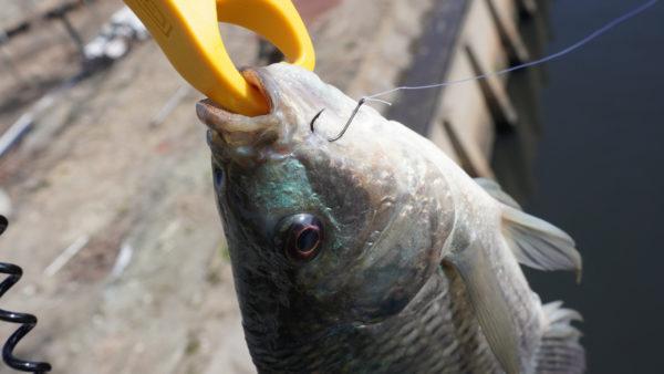 ティラピア釣りで長島水路でスレ掛かり一匹目