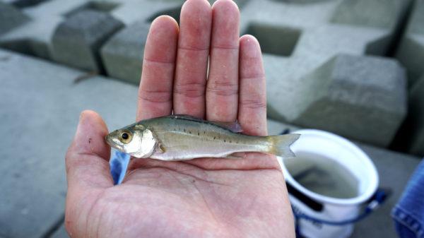 木曽川の小さいセイゴ